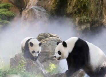 Zoo de Beauval : un heureux événement à venir chez les pandas