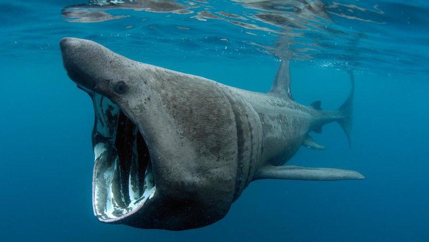 Un requin pèlerin filmé au large des côtes entre Collioure et Argelès-sur-Mer